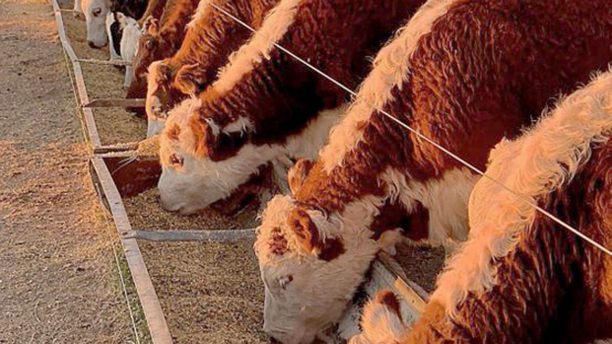 El mercado internacional de la carne es una enorme oportunidad para la Argentina y está ligado a la cadena del maíz.