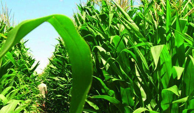 La soja sembrada en Córdoba sería la menor de la última década
