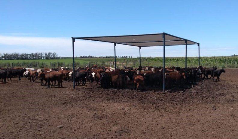 Por la ola de calor, hubo mortandad de  vacas en zona rural de Washington y Moldes
