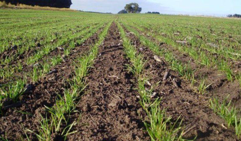 Los valores de mercado del trigo incentivan su inclusión en la rotación de los cultivos