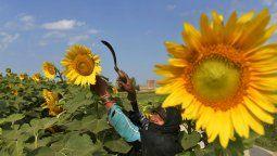Según la Bolsa de Comercio de Rosario, Ucrania -principal exportador mundial de aceite de girasol- se enfrenta a un virtual estancamiento en el área sembrada del cultivo.