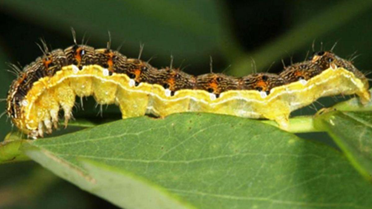 En maíces tardíos la infestación de gusano cogollero es creciente en lotes sembrados desde la segunda quincena de diciembre en adelante.