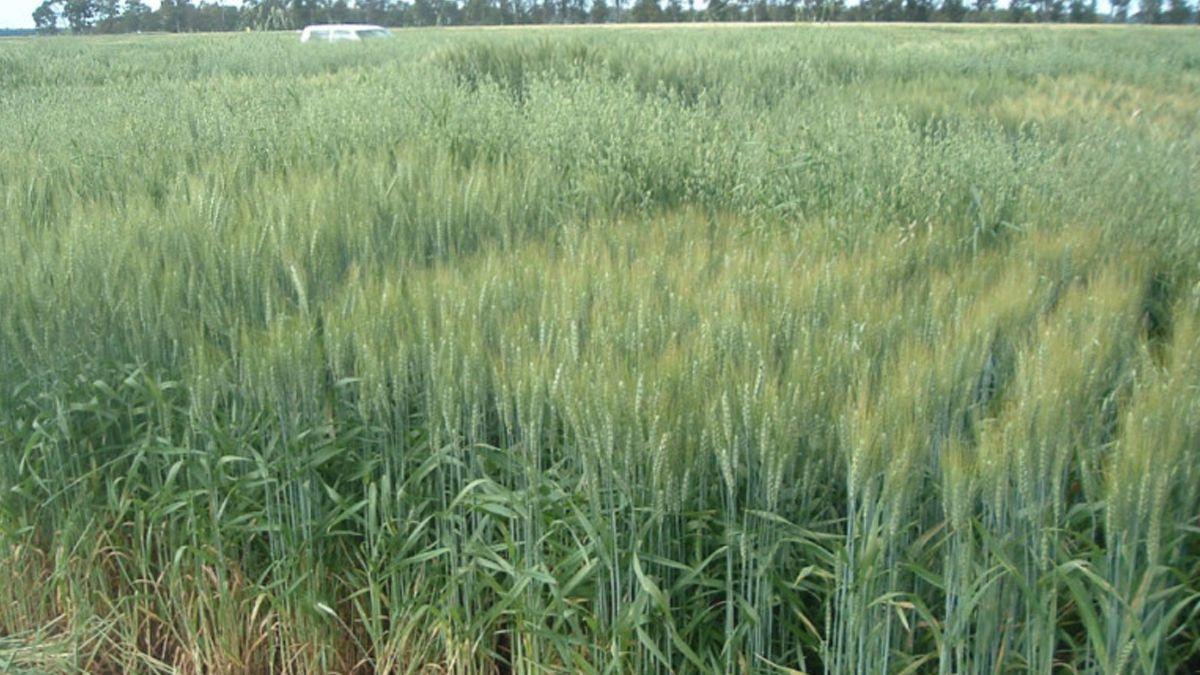 Vigna: Tratamos de seleccionar cultivares que tengan la capacidad de sobreponerse a la competencia de malezas.