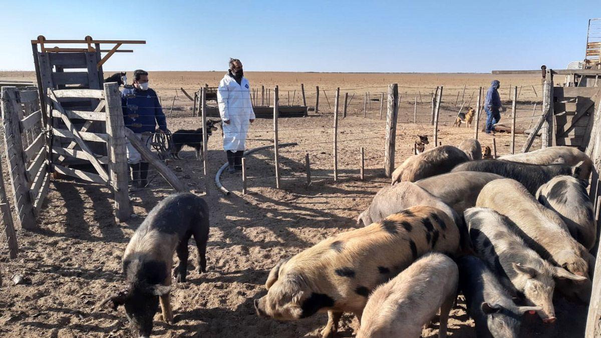 Por cuatro casos de triquinosis en Río Cuarto, realizaron un operativo en un establecimiento porcino