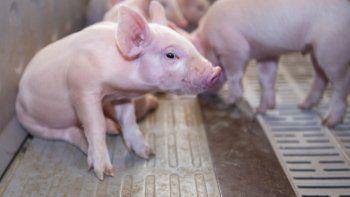 Piden actualizar la clasificación de los establecimientos porcinos