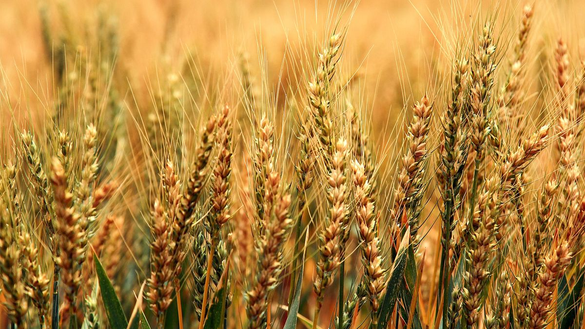 Córdoba espera casi 1,3 millones de hectáreas de trigo, 8% más que en 2020