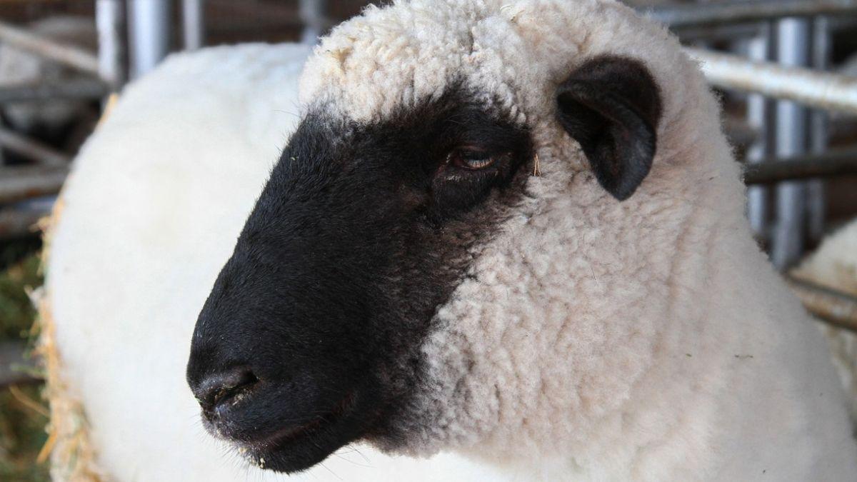 La raza Hampshire Down es la que se destina al mercado de la carne ovina por excelencia.