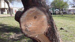 Desde Wichán compartieron las imágenes de la poda que hicieron los placeros esta semana (arriba)y la que ellos habían hecho en invierno con el árbol ya sanando (en la otra página).