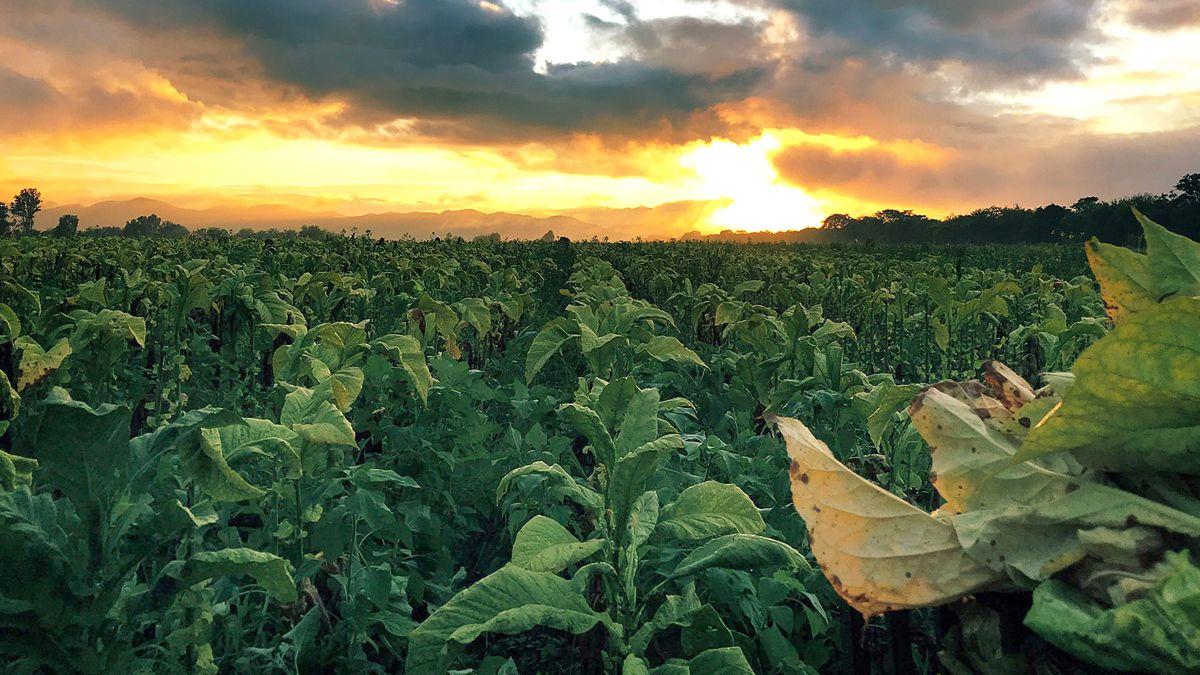 El tabaco sin agroquímicos con el marco imponente de los cerros en la provincia de Salta.