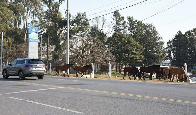 Una tropilla de equinos a la vera de la ruta 9