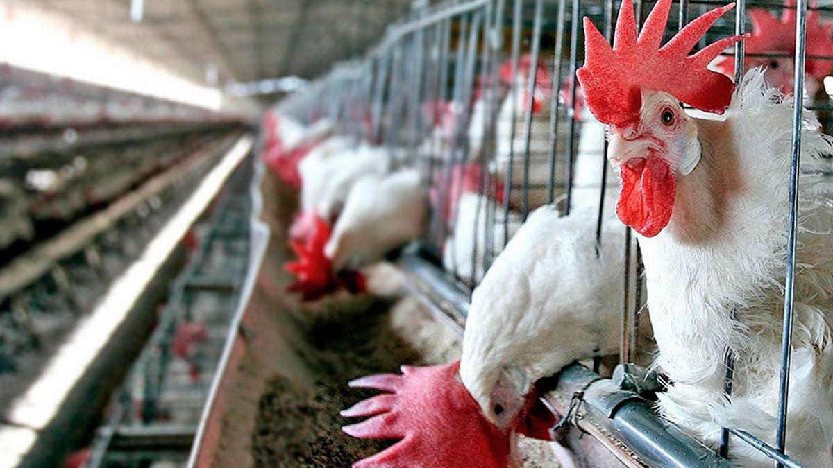 El consumo de pollo en el país está en un máximo de 45