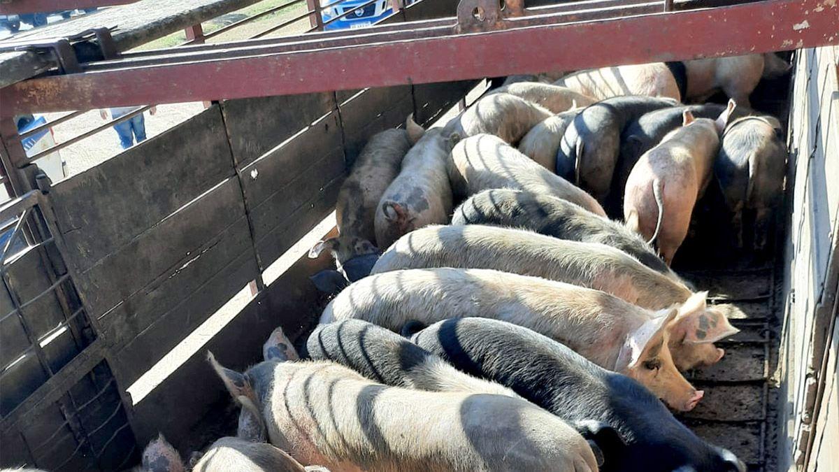 Investigan la procedencia de los cerdos incautados durante el procedimiento.