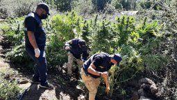En un operativo decomisaron alrededor de cien plantas de cannabis sativa de entre dos y tres metros de altura, además de cogollos y otros elementos relacionados con la causa.