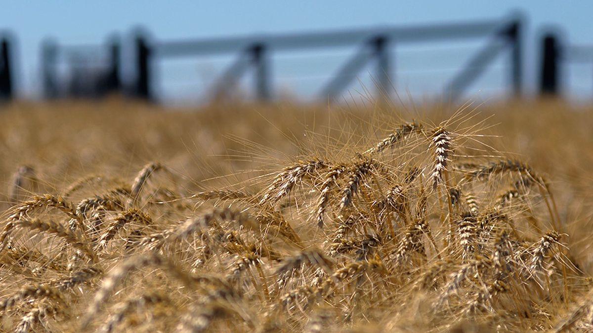 El maíz y trigo registran nuevas subas en los mercados internacionales