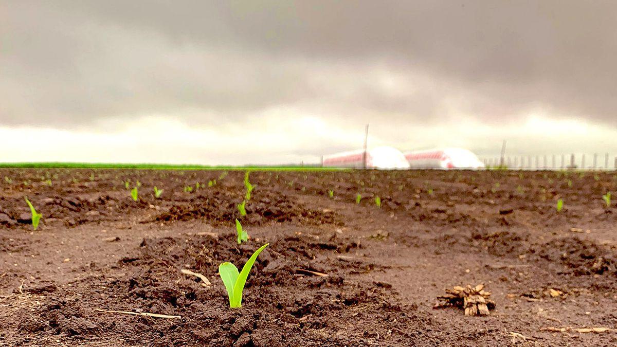 El maíz sigue ganando terreno y vuelve a aparecer muy demandado para la 2021/22.
