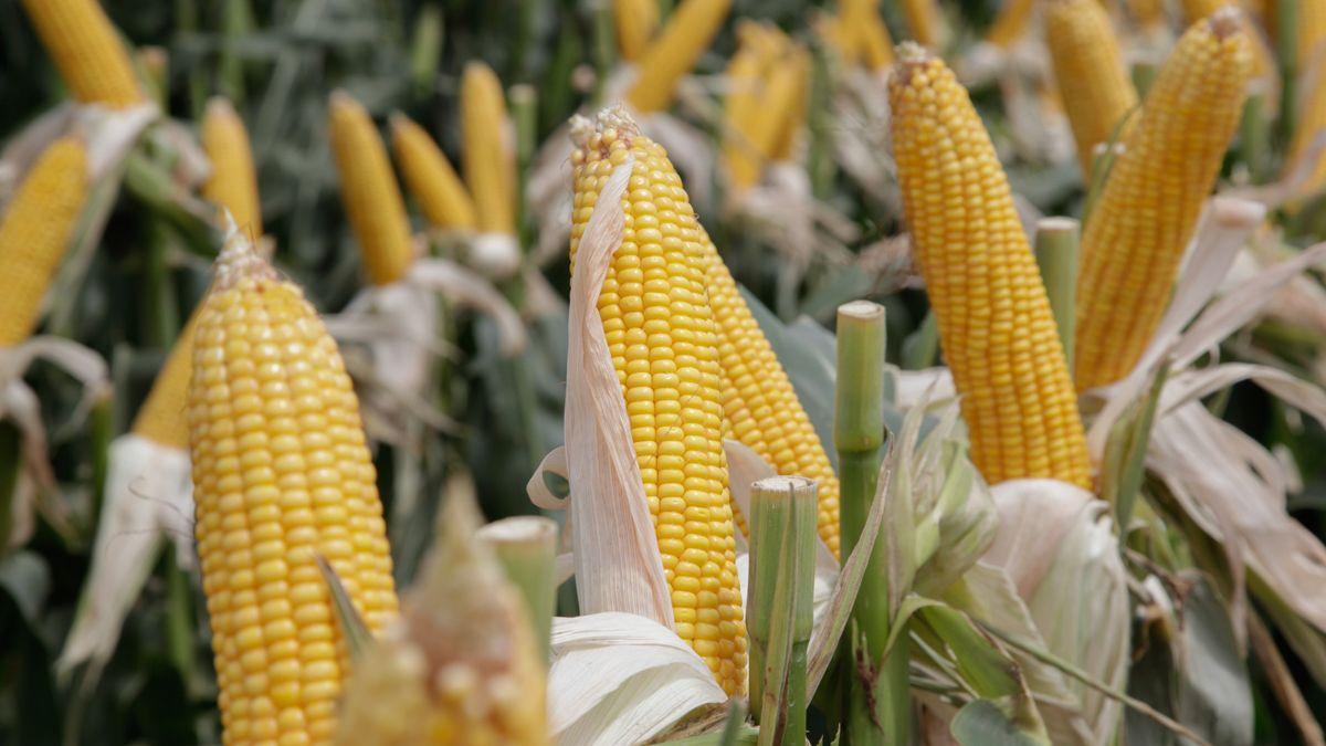 Las medidas sobre las exportaciones de maíz avivaron el malestar con el campo.